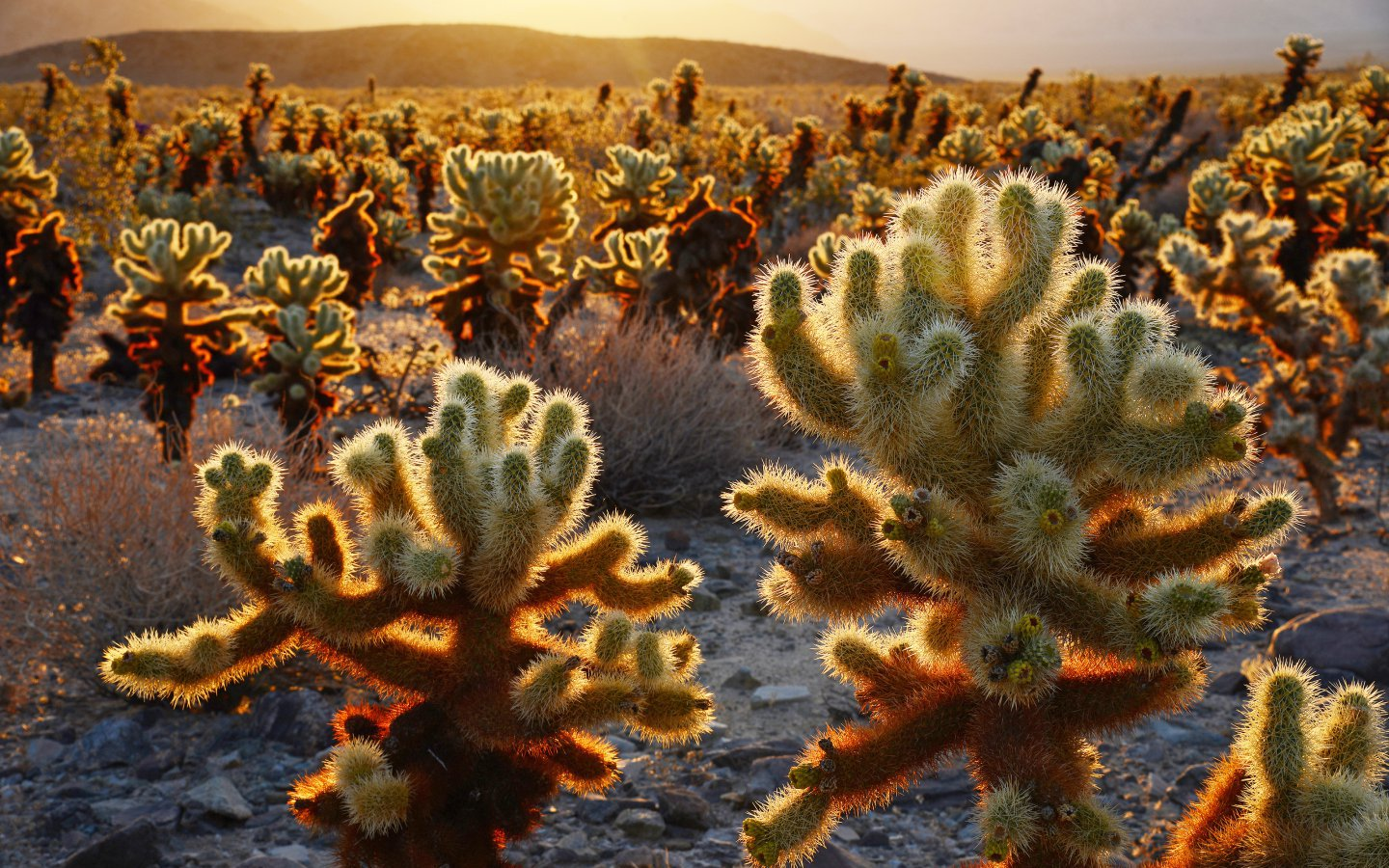 Cholla cacti, as spiky and seductive as Joshua trees