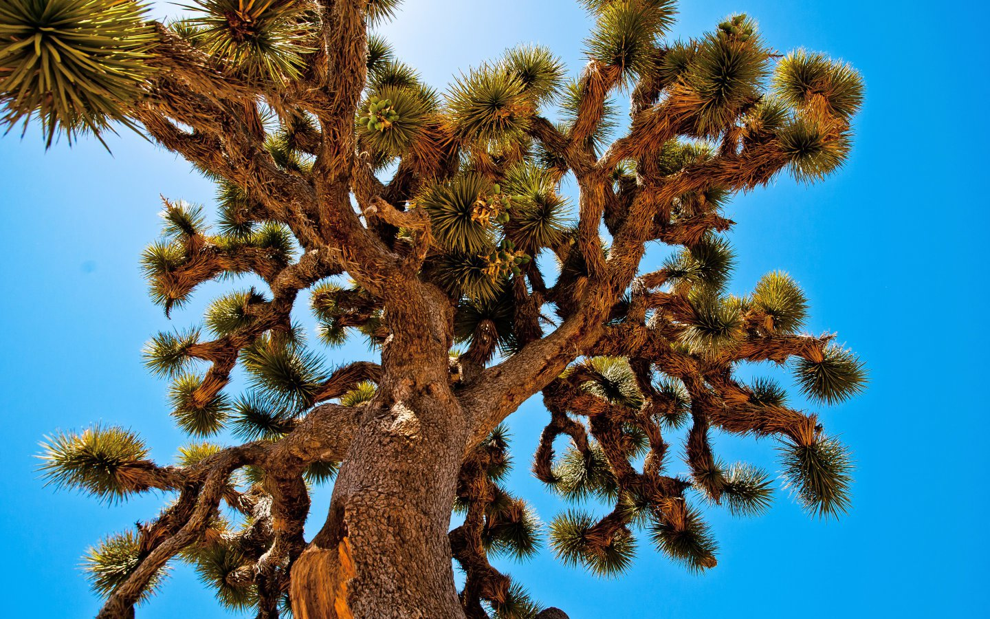 Joshua trees belong to the yucca family. They grow only in the Mojave Desert.